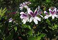 Geraniaceae Pelargonium cucullatum White-flowered variety 0781.jpg