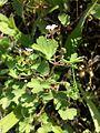 Geranium rotundifolium sl20.jpg