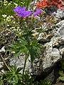 Geranium sylvaticum - Wald-Storchschnabel auf der Raxalpe.jpg