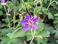 Geranium wlassovianum Cranesbill 0zz.jpg