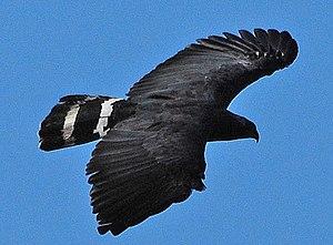Crane hawk - In flight