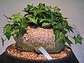 Gerrardanthus macrorhiza - Tower Hill Botanic Garden.JPG