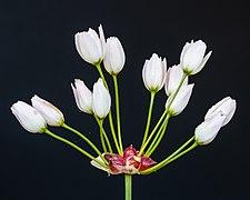 Gesloten bloemen van Allium canadense. 13-06-2021. (d.j.b).jpg