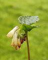 Gewone smeerwortel (Symphytum officinale) 01.JPG