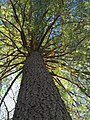 Giant white pine, Loyalsock State Forest (8195601640).jpg