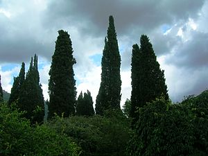 Italiano: Cipressi - Cupressus sempervirens
