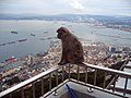 Gibraltar Barbary Macaques.jpg