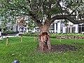 Gibson Square apple tree (3).jpg