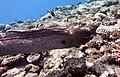 Gigantische Muräne im Roten Meer..DSCF3598ВЕ.jpg
