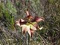 Gladiolus liliaceus (3).jpg