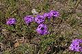 Glandularia aristigera flowers1 (14438496019).jpg