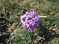 Glandularia aristigera flowers3 (15344212949).jpg