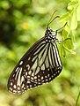 Glassy Tiger Parantica aglea by Dr. Raju Kasambe DSCN9884 (8).jpg