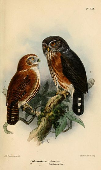 Pygmy owl - Guatemalan pygmy owl (left) and red-chested owlet (right); illustration by Keulemans, 1875