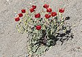 Glauicium - Horned poppies 03.jpg