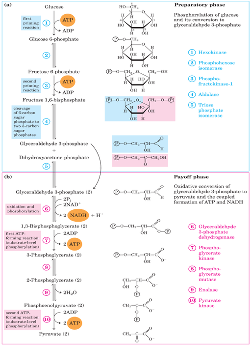 Glycolysis pathway