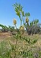 Glycyrrhiza lepidota 4.jpg