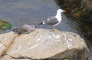 Lesser black-backed gull - Image: Goeland adulte et juvénile