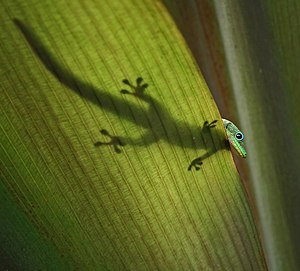 English: A gold dust day gecko. Français : Un ...