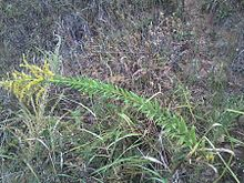 Goldenrod growing wild in Oklahoma.jpeg