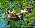 Goose Family 4-5-14a (13723960084).jpg