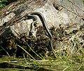 Grass Snake. Natrix natrix (44268189344).jpg