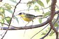Gray-Crowned Yellowthroat (Geothlypis poliocephala).jpg