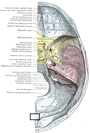 Internal occipital protuberance - Image: Gray 193 Internal occipital protuberance
