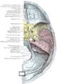 Gray193 Internal occipital protuberance.png