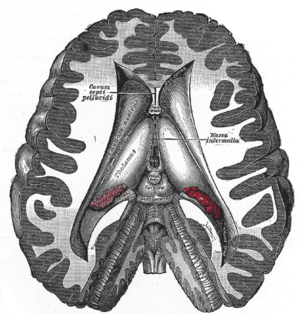Transverse dissection showing the ventricles o...
