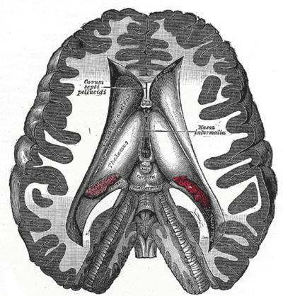 Topographische Anatomie: Neuroanatomie: Zwischenhirn – Wikibooks ...