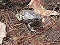 Gray treefrog (10710542374).jpg