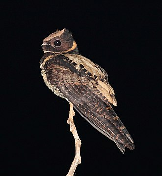 Nightjar - Great eared nightjar