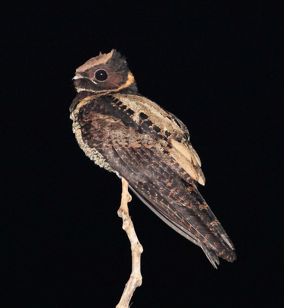 Great Eared-Nightjar, Tangkoko, Sulawesi (5799113025) (2)