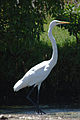 Great Egret at Malibu Lagoon.jpg