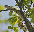 Great Falls National Park - Pantherophis obsoletus - 3.JPG