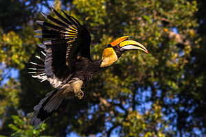 Great hornbill - A male in flight, Western Ghats, India
