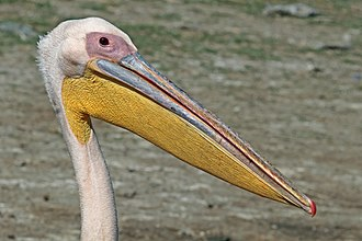 Great white pelican - in Ethiopia