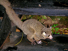 "Brown greater galago (""Otolemur crassicaudatus"")"
