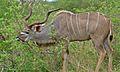 Greater Kudu (Tragelaphus strepsiceros) (6002137470).jpg