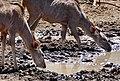 Greater Kudus (Tragelaphus strepsiceros) females drinking ... (50217511457).jpg