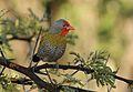 Green-winged Pytilia, Pytilia melba, at Pilanesberg National Park, Northwest Province, South Africa (28370115992).jpg