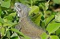 Green Iguana (Iguana iguana) (28687885064).jpg