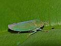 Green Leafhopper (Cicadellidae) (15446677466).jpg