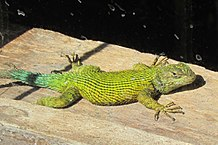 Pet Lizards Large Small Amp Colorful Insectivores That