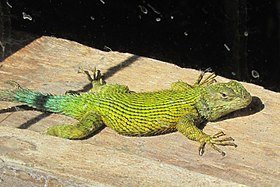 Green spiny lizard.JPG