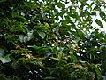 Grewia umbellifera Bedd. (22603012406).jpg