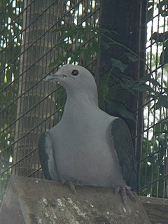 Grey Imperial Pigeon - Ducula pickeringii - Ninoy Aquino Parks & Wildlife Center 01.jpg