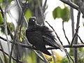 Grey bellied cuckoo3 ( Cacomantis passerinus) ചെറുകുയിൽ.jpg