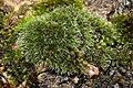 Grimmia pulvinata 104148645.jpg